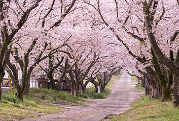 Shop Japanese Sakura Blossom Wallpaper In Nature Landscapes