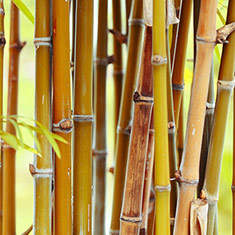Bamboo Stems in Forest