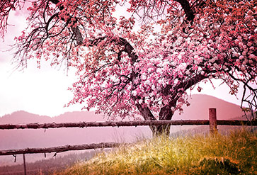 Blossom Tree Over Nature