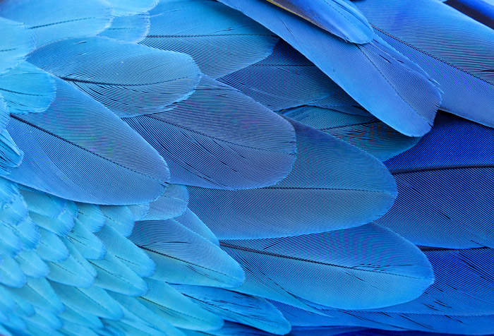 Blue And Gold Macaw Wing Feathers Wallpaper For Offices