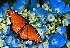 Butterfly On Hydrangea Flowers