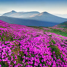 Carpet of Pink Rhododendron