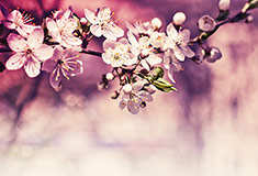 Cherry Blossoms Over Spring