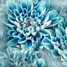 Flower Petals in Blue