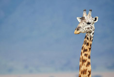 Giraffe and Blue Mountain