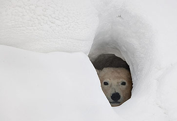 Polar Bear Snow Den
