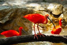 Red Bird Scarlet Ibis