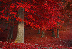 Red Trees In The Fores