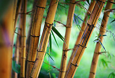 Shallow Bamboo Forest Background