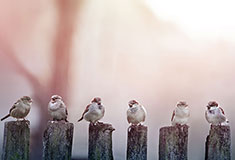 Sparrows In A Row