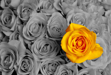 Yellow Rose on Grey Background