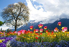 Tulip Beds In Front of Swiss ALPS